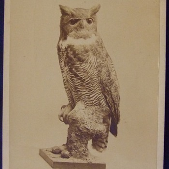 Great Horned Owl taxidermy Cabinet card
