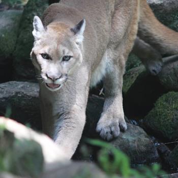 Mountain Lion...  - Animals