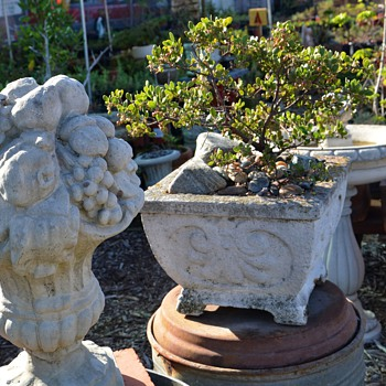 Manzanitas in Antique Cement Planters - Art Nouveau