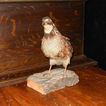 Taxidermy Bird Northern Bobwhite - Animals