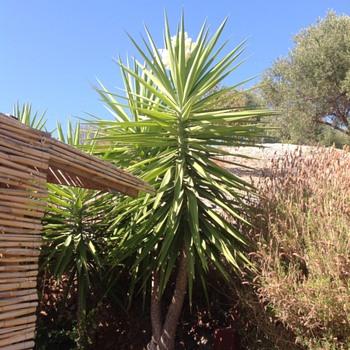 Yucca plant - Photographs