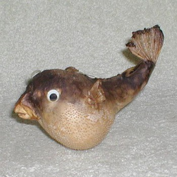 Pufferfish - Taxidermy - Animals