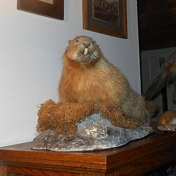 Chuck the Taxidermy Marmot