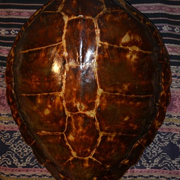 Green Sea Turtle Shell - Animals