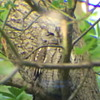 "Circle of life,Screech Owl,Male and Female""05-8 to 06-7= 5 CHICK"