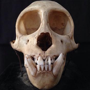 Capucinus Monkey Skull