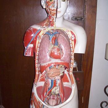 Medical torso.