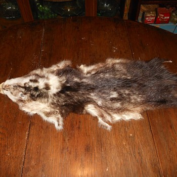 An Opposum Pelt After Battle with a Pet - Animals