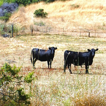California Happy Cows! - Photographs