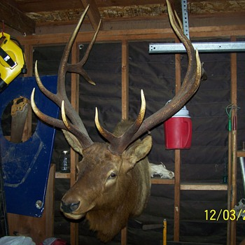this is a royal elk shoulder mount