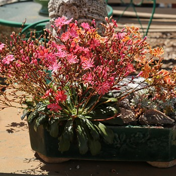 Lewisia cotyledon - Cliff Maids in an old bonsai pot - Asian