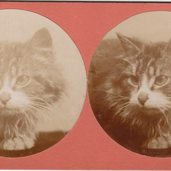 Cat Stereoview Stereograph Collection Jim Linderman