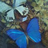 Butterfly diorama from S. America  Blue Morpos