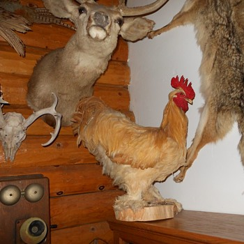 Taxidermy Cochin Rooster