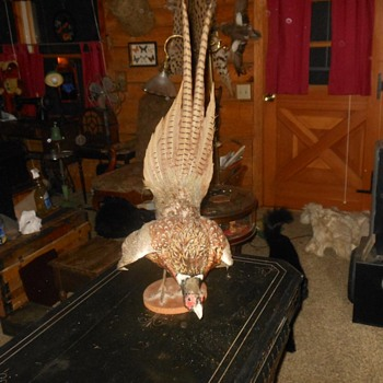 Taxidermy Pheasent in Mating Pose - Animals