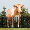 Golden Guernsey Dairy Coop 12 ft Cow in my town (we call her Elsie )