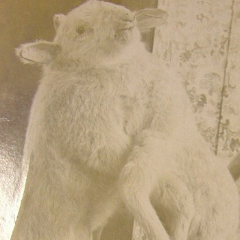Conjoined lambs cabinet card - Photographs