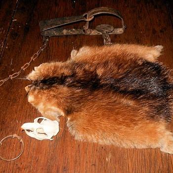 Muskrat Pelt and Skull and Trap - Animals