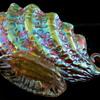 Loetz: Diaspora Candia c1905 Shell Bowl