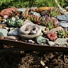 Old Wheelbarrow filled with native succulents and a rattlesnake!