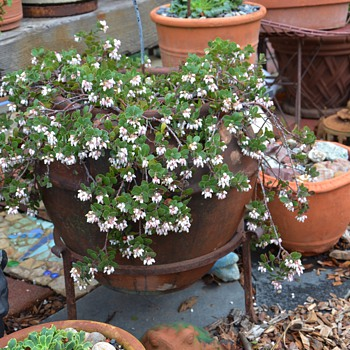 A Manzanita in a beautiful, antique Garden Pot - Pottery