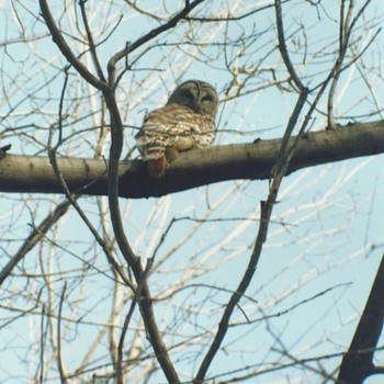 "My encounter with Barred Owl""January 5"""
