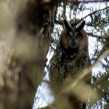 Collection of Long Eared Owl Pics - Photographs