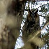 Collection of Long Eared Owl Pics