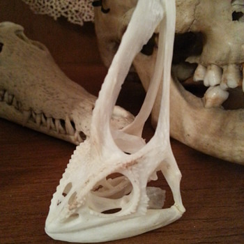 Veiled Chamaleon skull