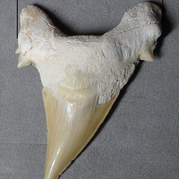 Extinct Mackerel Shark Teeth Fossils - Animals