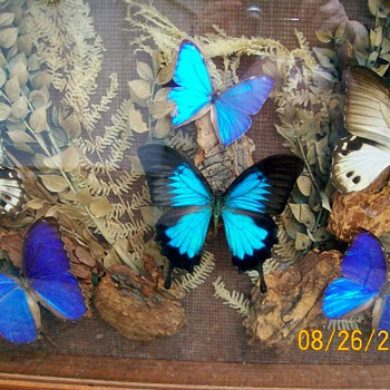 Butterflies from Ecuador I received 20 years ago as a gift or Flutterbys :-)  - Animals