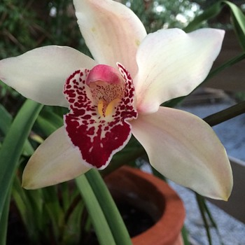 My Flowered Orchid Plant