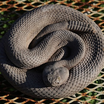 Very real-looking Cascabel or Rattlesnake made in Pueblo, CO by Animal Accents - Visual Art