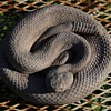 Very real-looking Cascabel or Rattlesnake made in Pueblo, CO by Animal Accents