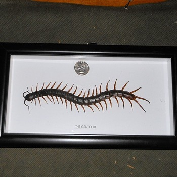 A Really Big Centipede For Rattletrap - Animals