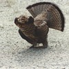 """My Encounter with """"The Ruffed Grouse""""Circa 1989"""