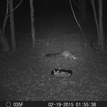 More Stealth Cam Stuff, The Elusive Ringtail