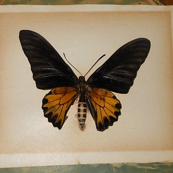Large Framed Butterfly Troides aeacus kaguya Vintage