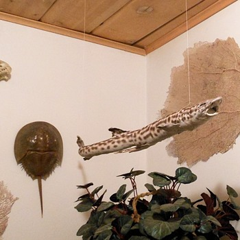 Taxidermy Catshark Skin Mount aka Dogfish