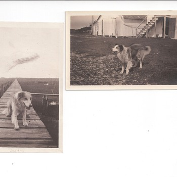 Teddy - Dog of Wallops Island Va 1927 - Photographs