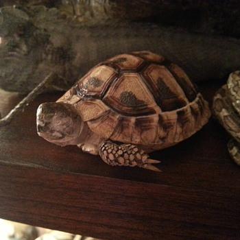 Mummified desert tortoise