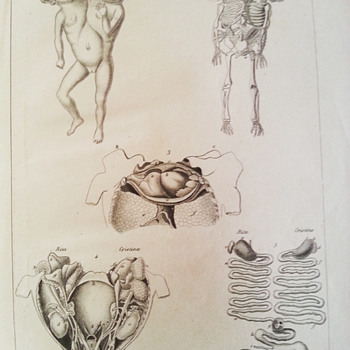 Anatomical prints - Posters and Prints