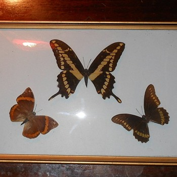 Framed Butterflies with Curved Glass Case