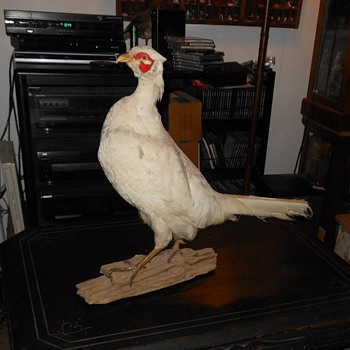 Large White Pheasent Taxidermy - Animals