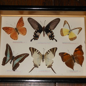Butterfly Collection from Southeast Asia - Animals