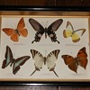 Butterfly Collection from Southeast Asia