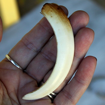 Boars Tooth/Tusk? A Claw or a Talon?  What is it?