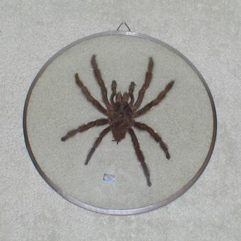 Tarantula Spider in Glass