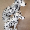 Beautiful Dalmations From Italy
