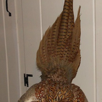 Taxidermy Pheasant Unusual Pose